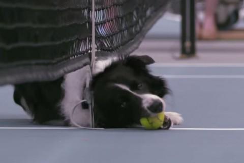 ASB labdaszedő kutya